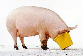 greedy-pig